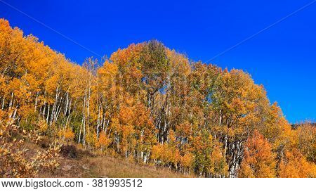 Aspen trees with foliage in autumn time
