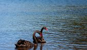 a pair swans swimming graceful nelson lake national park new zealand poster