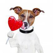 valentine  dog licking a big lollipop heart poster