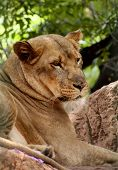 Close-up picture of side profile of Lioness Laying poster