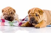 two Shar Pei baby dogs almost one month old poster