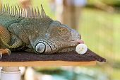 Large Iguana At Wildlife Show Licks Banana poster