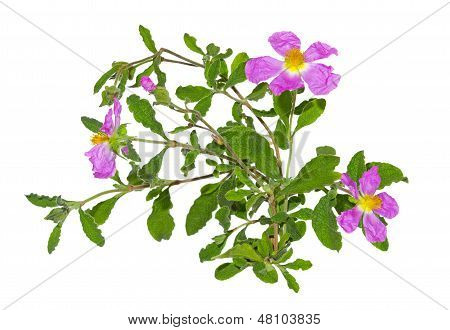 Paper thin pink flowers of the Rockrose or Cistus albidus poster
