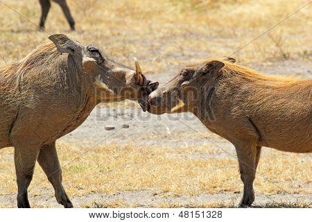 Couple Of Warthogs Loving
