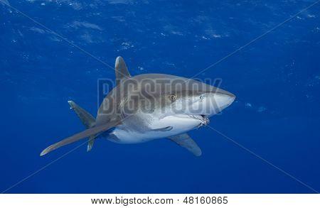 Oceanic Whitetip Shark with Fishing Hook