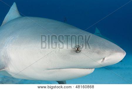 Bull Shark Close Up Underwater
