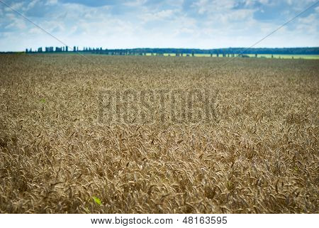 Wheatfield With Ripening Wheat