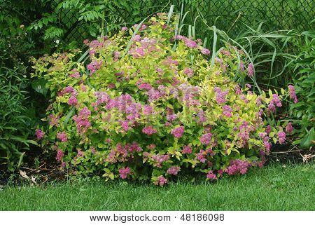 Spirea - flowering shrub