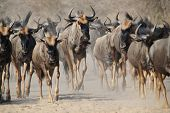 A Herd of Blue Wildebeest on the trot, following the natural instinct of migration.  Photographed in Namibia, Africa. poster
