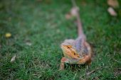 Bearded Dragon is the common name for any agamid lizard in the genus Pogona. Bearded Dragons are popular exotic pets in many places, notably Pogona vitticeps the Inland or Central Bearded dragon. poster