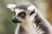 Ring-tailed lemur is endemic to the island of Madagascar poster