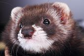 Two months old little ferret, close-up portrait poster