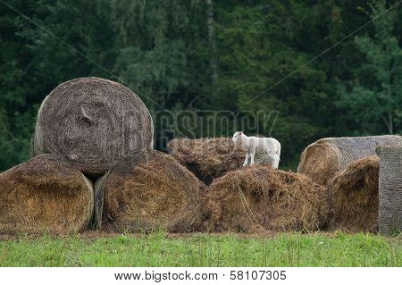 Brave young sheep playing high on hay poster