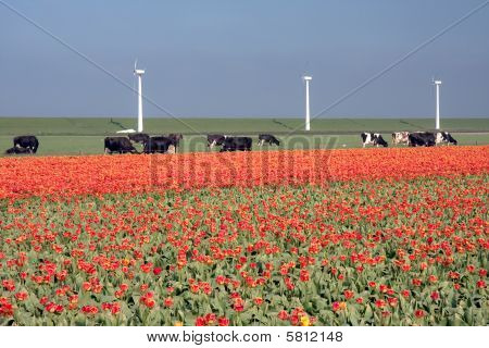 Typical Dutch landscape: a dike with windmills cows and tulips poster