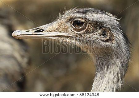 Common Rhea Closeup