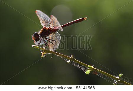 Vagrant Darter Or Sympetrum Vulgatum