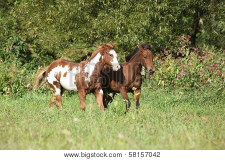 Two Foals Running Together In Freedom