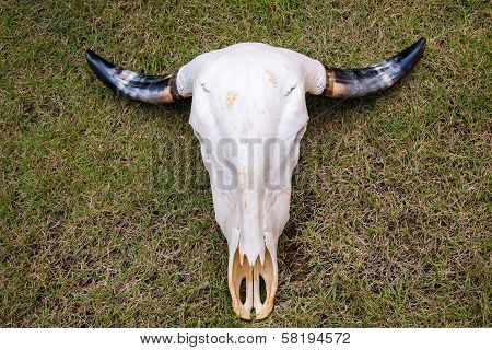 Buffalo Skull On Grass Floor