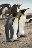 King penguins (Aptenodytes patagonicus) sitting near a gentoo penguin rookery at Saunders Island Falkland Islands poster