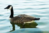 canada geese swimming poster