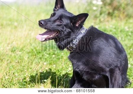 Dog sits on lown and scratching sitting on a grass on the garden poster