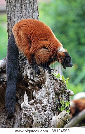 Red Ruffed Lemur Yawning