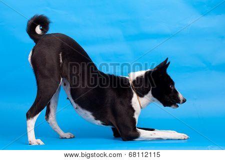 Basenji on the blue background