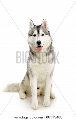 Siberian Husky on white