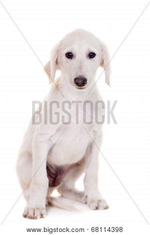 Tazy - Kazakh greyhound on white