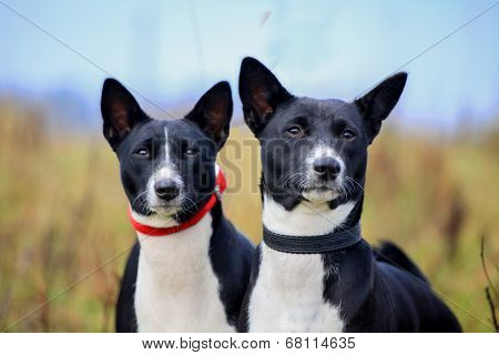Two basenjis on meadow