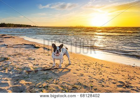 French bulldog on the beach at sunset