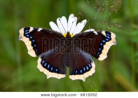 The mourning-cloak butterfly sitting on the flower poster