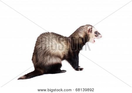 Ferret, 10 years old, isolated over white background poster