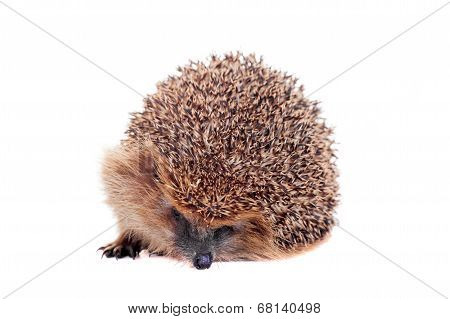 European hedgehog on white background
