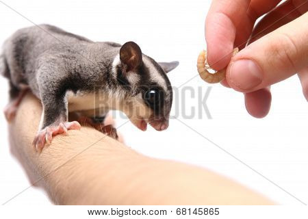 Small sugar glider, Petaurus breviceps, on white background poster