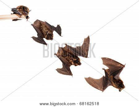 Set of Flying northern bat on white.