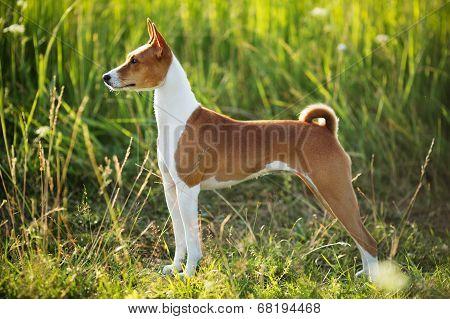 Hunting Dog Breed Basenji