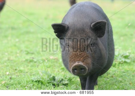 Pigs Face