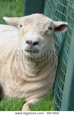 Sheep And Fance