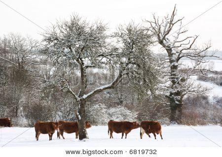 Cattle In Winter Landscape