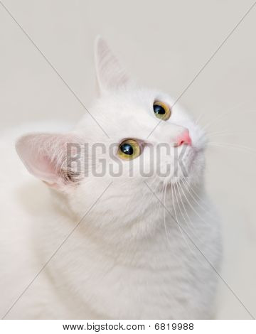 Beautiful White Cat on Simple Background