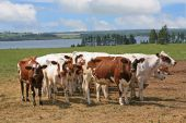 A herd of Ayrshire cattle in rural Prince Edward Island Canada. poster
