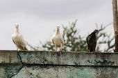 three pigeons of different color and shades sitting on parapet wall poster