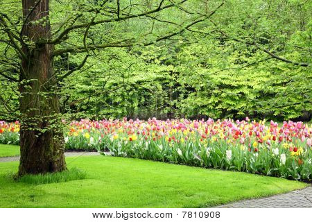 Colorful Tulips.