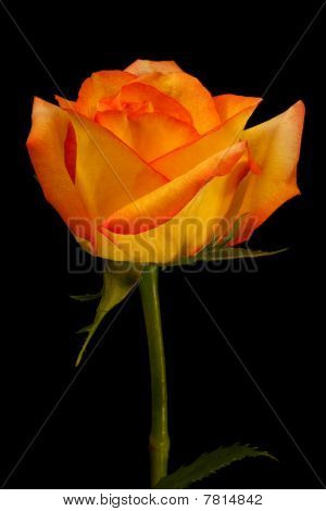 Beautiful yellow orange rose isolated on black
