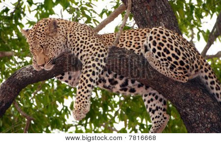 Leopard (Panthera pardus) sleeping on the tree in nature reserve in South Africa poster