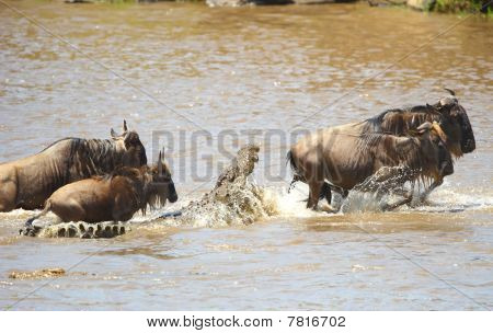 Crocodiles (crocodylus Niloticus) Trying To Grab Bluewildebeest