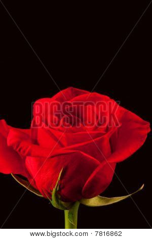 Beautiful red rose isolated on black