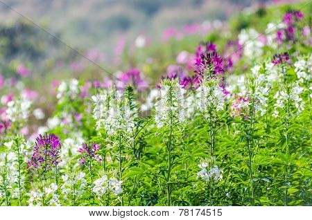 Purple And White Flowers In The Field With Blurred Backgroud