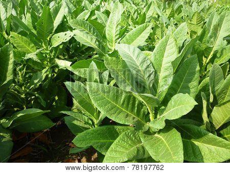 Tobacco planting